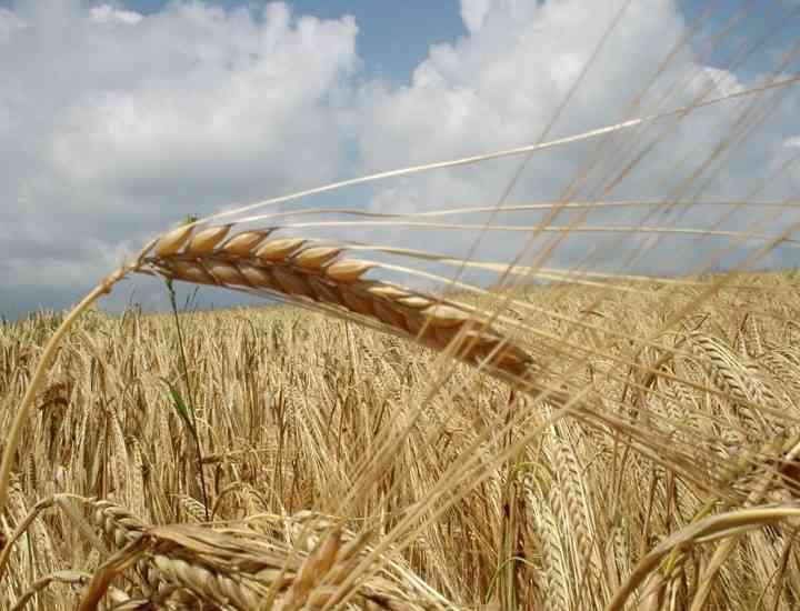 Proteinele din grâu au efect de lifting